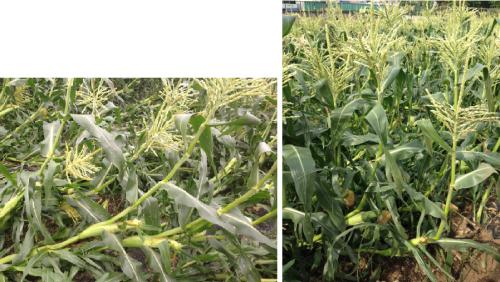 corn2_convert_20120629235416.png